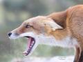 Jonge vos in de duinen. (High Key fotografie) (september 2020)