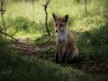 Jonge vos in de schaduw onder de bomen. (juni 2020)